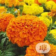 Marigold Flower Seed Marigold Flower Seedlings | Feeds, Supplements & Seeds for sale in Lagos State, Victoria Island