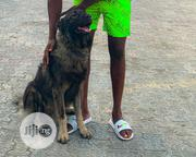 Stud Service | Pet Services for sale in Delta State, Warri