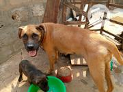Adult Female Purebred Boerboel | Dogs & Puppies for sale in Ogun State, Ifo