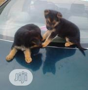 Young Female Purebred Australian Shepherd   Dogs & Puppies for sale in Kano State, Garko