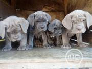 Baby Male Purebred Neapolitan Mastiff | Dogs & Puppies for sale in Lagos State, Lekki Phase 1
