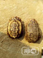 Turtle For Sell | Reptiles for sale in Lagos State, Surulere