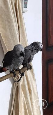 Healthy And Talking Africa Grey Parrot For Sale | Birds for sale in Lagos State, Lagos Mainland