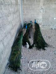 Peacocks For Sale In Large Quantities | Birds for sale in Lagos State, Lagos Mainland