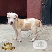 Young Female Purebred American Pit Bull Terrier | Dogs & Puppies for sale in Lagos State, Maryland