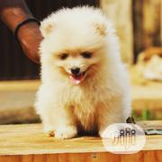 Baby Male Purebred Pomeranian | Dogs & Puppies for sale in Lagos State, Ikeja