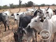 Big Sizes Of Cows | Livestock & Poultry for sale in Kano State, Garko
