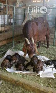 Matured Goat | Livestock & Poultry for sale in Kano State, Garko