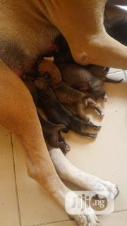 Baby Male Purebred Boerboel   Dogs & Puppies for sale in Ondo State, Owo