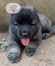 Baby Female Purebred Caucasian Shepherd Dog | Dogs & Puppies for sale in Ondo State, Akure
