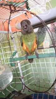 Sales Of Healty Senegalese Parrots . | Birds for sale in Lagos State, Alimosho