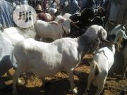 A Very Big White Ram | Livestock & Poultry for sale in Sokoto State, Sokoto North