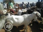 Big White Ram | Livestock & Poultry for sale in Sokoto State, Sokoto North