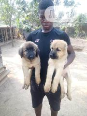 Baby Male Purebred Caucasian Shepherd Dog | Dogs & Puppies for sale in Oyo State, Ibadan
