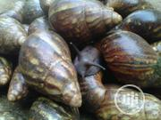 Giant Snail | Other Animals for sale in Lagos State, Agege