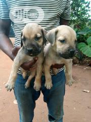 Baby Male Purebred Boerboel | Dogs & Puppies for sale in Ogun State, Obafemi-Owode