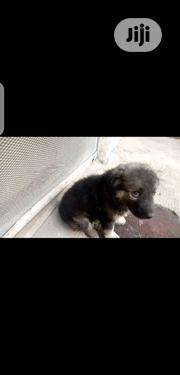 Baby Female Purebred Caucasian Shepherd Dog | Dogs & Puppies for sale in Oyo State, Ibadan