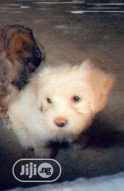 Baby Female Purebred Lhasa Apso | Dogs & Puppies for sale in Anambra State, Nnewi