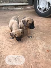 Young Female Purebred Boerboel | Dogs & Puppies for sale in Abuja (FCT) State, Lokogoma