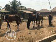 Big, Well Trained Horses | Other Animals for sale in Oyo State, Oyo