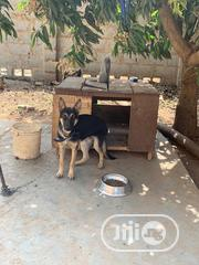 Young Male Purebred German Shepherd Dog | Dogs & Puppies for sale in Abuja (FCT) State, Durumi