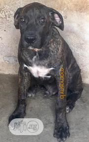 Young Male Purebred Boerboel | Dogs & Puppies for sale in Lagos State, Ajah
