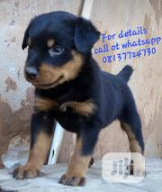 Baby Male Purebred Rottweiler | Dogs & Puppies for sale in Lagos State, Isolo