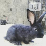 New Zealand Rabbits For Sale | Livestock & Poultry for sale in Rivers State, Port-Harcourt
