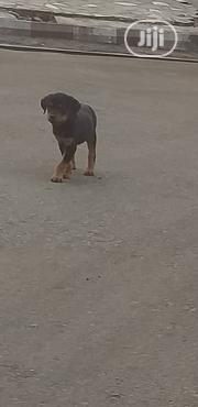 Baby Female Purebred Rottweiler | Dogs & Puppies for sale in Enugu State, Nsukka