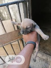 Baby Female Purebred Boerboel | Dogs & Puppies for sale in Abuja (FCT) State, Lokogoma