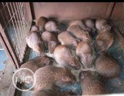 2 Colony Grasscutter   Other Animals for sale in Oyo State, Ibadan