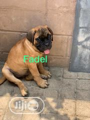 Young Female Purebred Bullmastiff | Dogs & Puppies for sale in Lagos State, Lagos Island