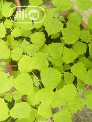Gmelina And Teak Seedling For Sale | Feeds, Supplements & Seeds for sale in Ogun State, Abeokuta South