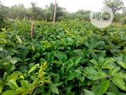 Fluted Pumpkin Ugu Ugwu Leaves | Feeds, Supplements & Seeds for sale in Ogun State, Ado-Odo/Ota