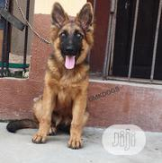Young Female Purebred German Shepherd Dog | Dogs & Puppies for sale in Lagos State, Lagos Island