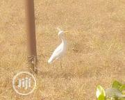 African Cattle Egret | Birds for sale in Abia State, Umuahia