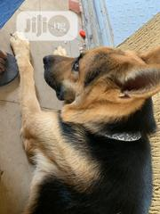 Adult Male Purebred German Shepherd Dog | Pet Services for sale in Lagos State, Ikorodu
