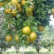 Citrus Orange | Feeds, Supplements & Seeds for sale in Ogun State, Ado-Odo/Ota