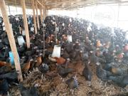 DOC: Broiler, Pullet, Local & Imported Turkey, Point Of Lay Etc. | Livestock & Poultry for sale in Oyo State, Ibadan