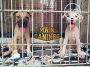 Young Female Purebred American Pit Bull Terrier   Dogs & Puppies for sale in Lagos State, Maryland