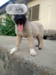 Young Male Purebred Caucasian Shepherd Dog | Dogs & Puppies for sale in Lagos State, Badagry