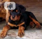 Baby Female Purebred Rottweiler | Dogs & Puppies for sale in Ondo State, Akure