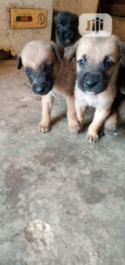 Baby Female Mixed Breed Bullmastiff | Dogs & Puppies for sale in Edo State, Ikpoba-Okha