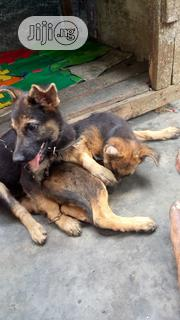 Baby Male Purebred German Shepherd Dog | Dogs & Puppies for sale in Rivers State, Ikwerre
