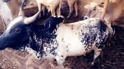 Cows Are Available In All Sizes | Other Animals for sale in Oyo State, Egbeda