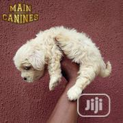 Young Male Purebred Lhasa Apso | Dogs & Puppies for sale in Lagos State, Maryland