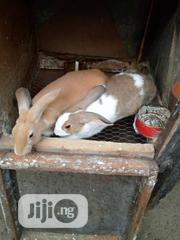 Breed Newseeland Red, White And Dutch   Other Animals for sale in Lagos State, Epe