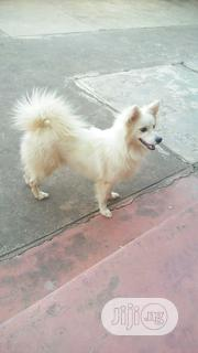 Young Male Purebred American Eskimo Dog | Dogs & Puppies for sale in Oyo State, Ibadan
