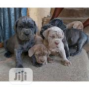 Baby Female Purebred Neapolitan Mastiff | Dogs & Puppies for sale in Ondo State, Akure