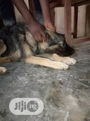 Young Male Purebred Caucasian Shepherd Dog | Dogs & Puppies for sale in Ogun State, Odeda
